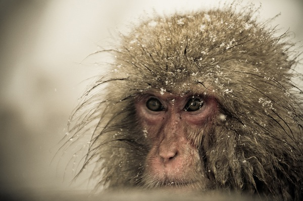 snow_monkeys-07.jpg