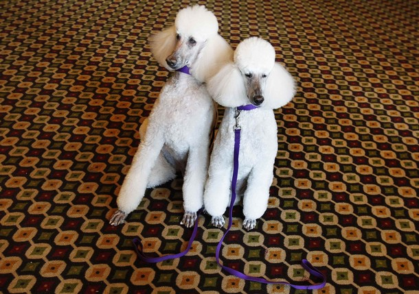 135th Westminster Kennel Club Dog Show in New York