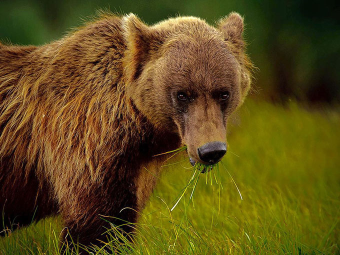 alaskan-brown-bear-green-grass_31774_990x742.jpg