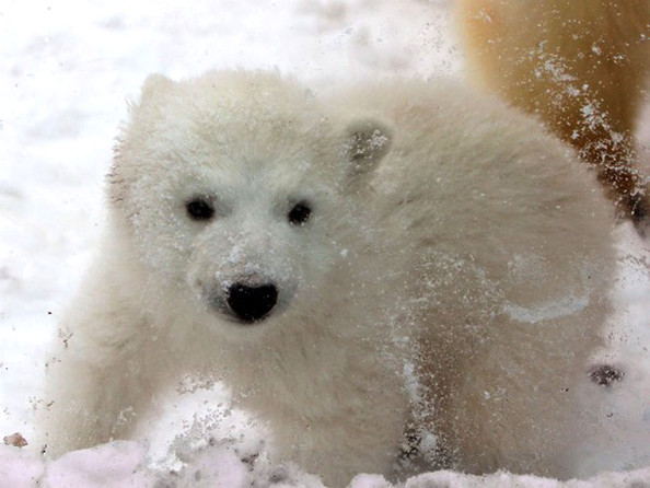 unnamed+baby+polar+bear+newest+addition+Aalborg+7bCYhcngELdl.jpg
