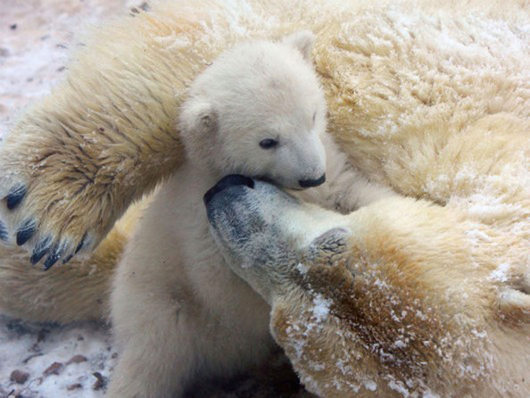 unnamed+baby+polar+bear+newest+addition+Aalborg+7cdGIV1nLaNl.jpg