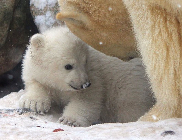 unnamed+baby+polar+bear+newest+addition+Aalborg+UsuuApiOhzQl.jpg