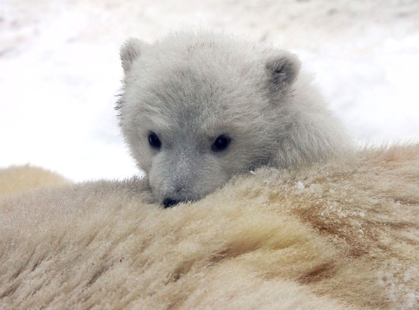 unnamed+baby+polar+bear+newest+addition+Aalborg+bf2_1cXjysKl.jpg