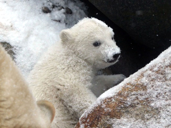 unnamed+baby+polar+bear+newest+addition+Aalborg+kUv19qiTPeBl.jpg