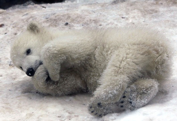 unnamed+baby+polar+bear+newest+addition+Aalborg+wrV-rObKDCTl.jpg