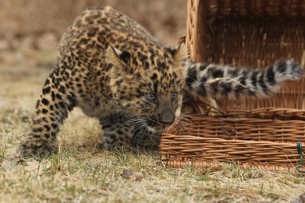 Tierpark+Zoo+Presents+Baby+Leopard+2cghO74r4C7l.jpg