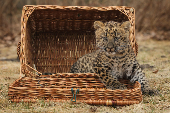 Tierpark+Zoo+Presents+Baby+Leopard+wjh9cmSS1Y7l.jpg