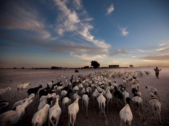 sheep-goats-timbuktu_32760_990x742.jpg