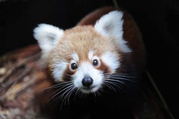 Taronga+Zoo+Welcomes+Baby+Red+Panda+1IVw5oViHV4l.jpg