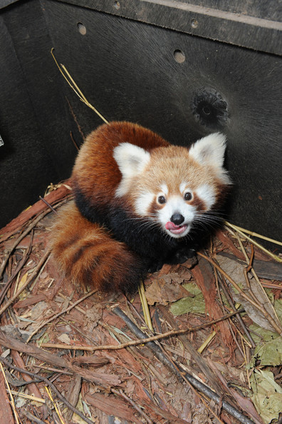 Taronga+Zoo+Welcomes+Baby+Red+Panda+AhP3F9Wjyeul.jpg