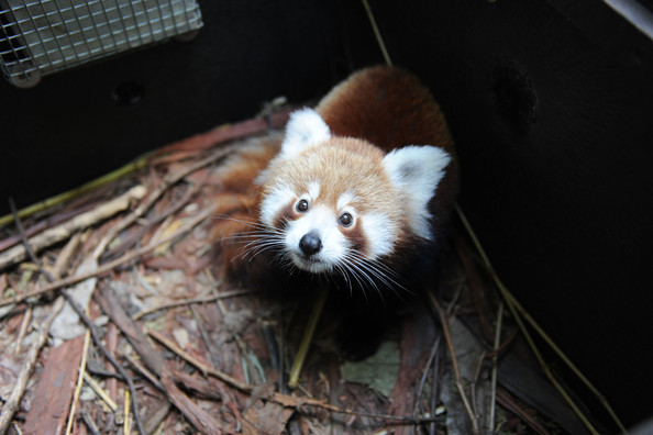 Taronga+Zoo+Welcomes+Baby+Red+Panda+GGTRBR7Fg8ql.jpg