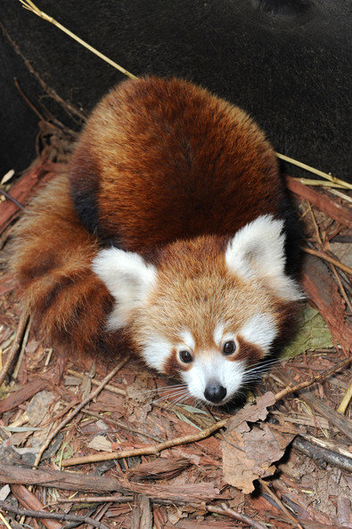 Taronga+Zoo+Welcomes+Baby+Red+Panda+ae6O4lKRV-_l.jpg