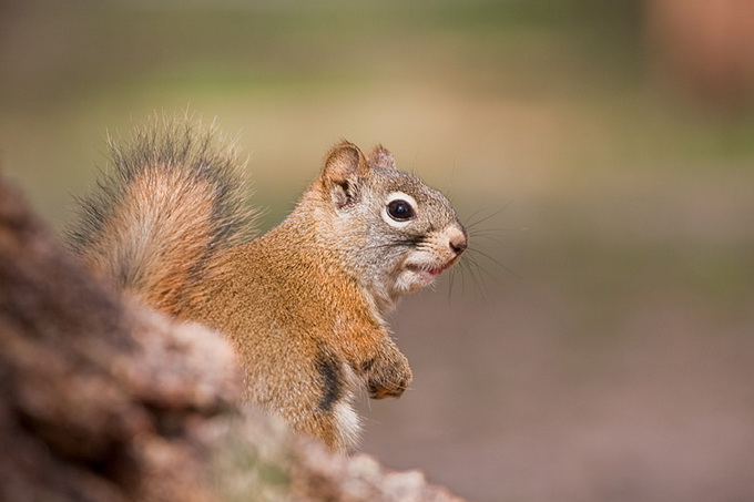 American_Red_Squirrel_9726.jpg