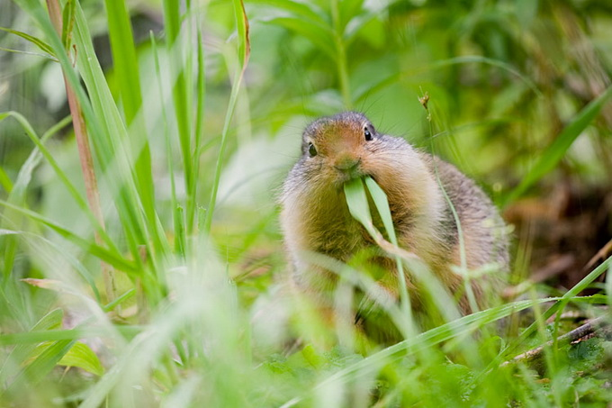 American_Red_Squirrel_9727.jpg