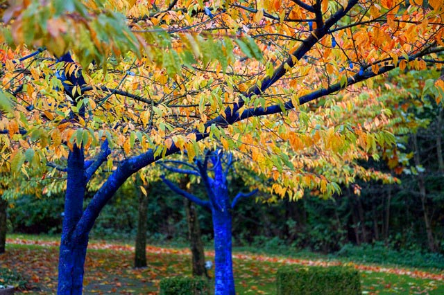 Blue-Trees-in-Fall_CloseUp.jpg
