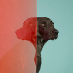 Портреты собак William Wegman