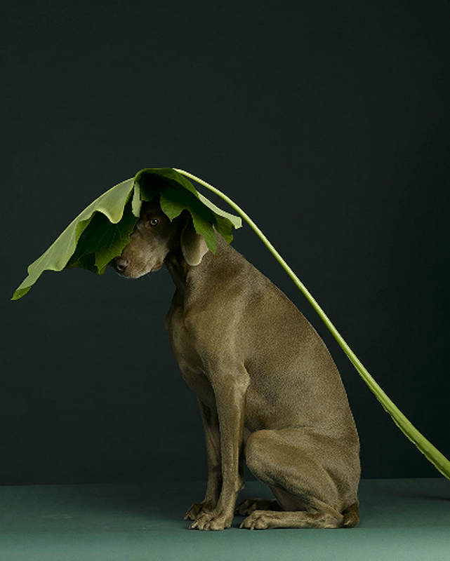 william-wegman-dog-portraits-6.png